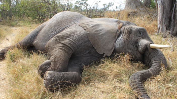 SOS, éléphants en danger