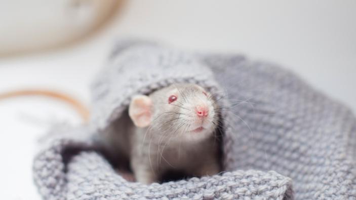 I ratti possono giocare a nascondino con gli umani