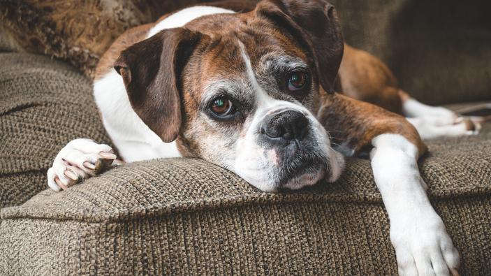 """Una nueva fórmula para calcular la """"edad humana"""" de tu perro"""