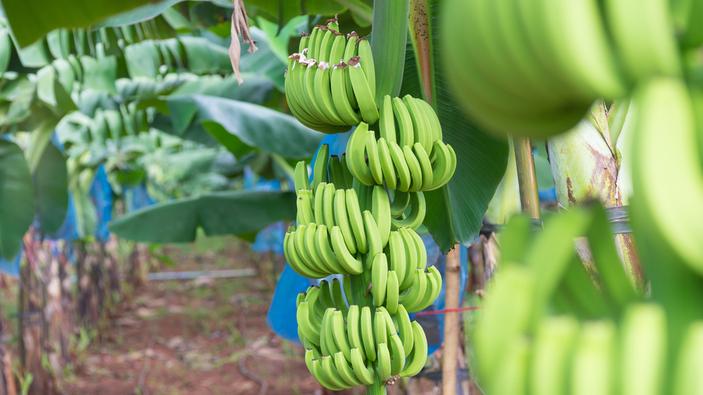 Un hongo amenaza el futuro del plátano en Latinoamérica