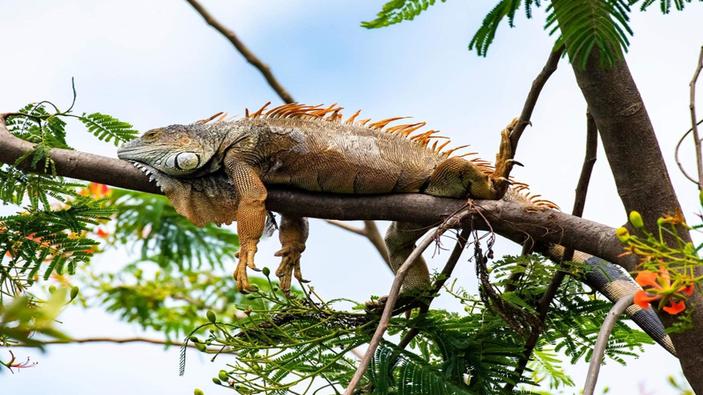 Alerta en Miami por caída de iguanas