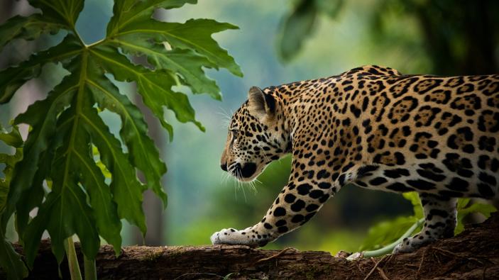 El jaguar, en peligro por el tráfico ilegal