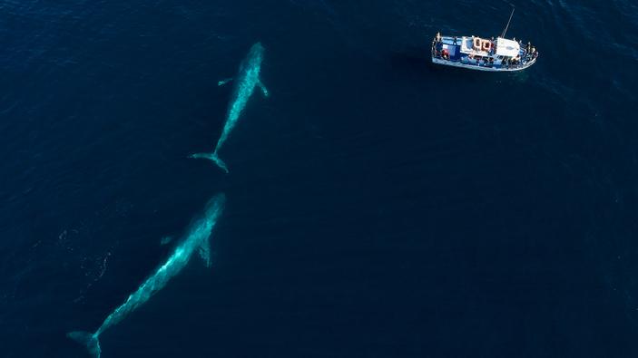 Expedición identifica número récord de ballenas azules en el Atlántico Sur