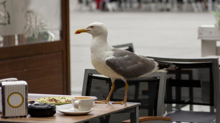 Uno studio suggerisce che i gabbiani preferiscono il cibo toccato dagli umani