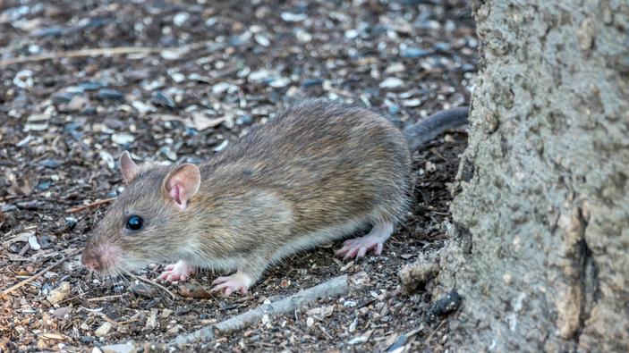 Las ratas de Nueva York se parecen cada vez más a los humanos