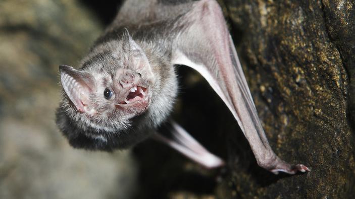 I pipistrelli vampiri stringono legami, baciando alla francese con il sangue