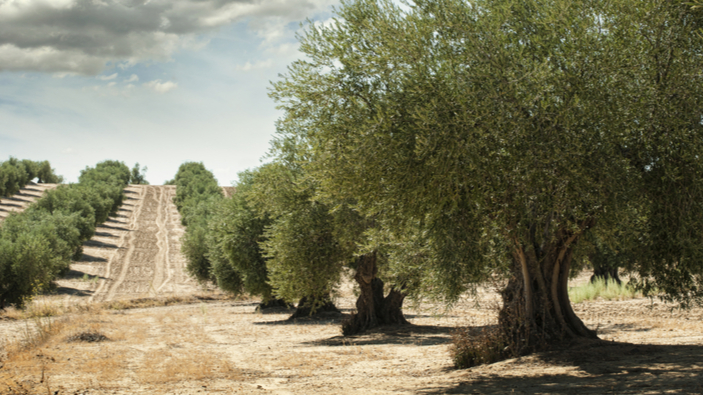 La maladie mortelle qui touche les oliviers pourrait coûter plus de 20 milliards d'euros à l'Europe