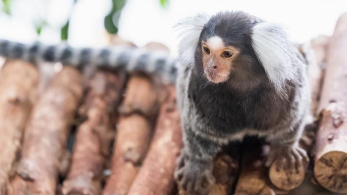 Prähistorische Affen auf Überfahrt über den Atlantik