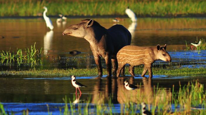 La situación del tapir en América Latina