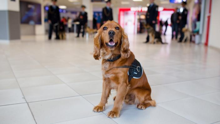 ¿Pueden los perros detectar el COVID-19 en humanos?