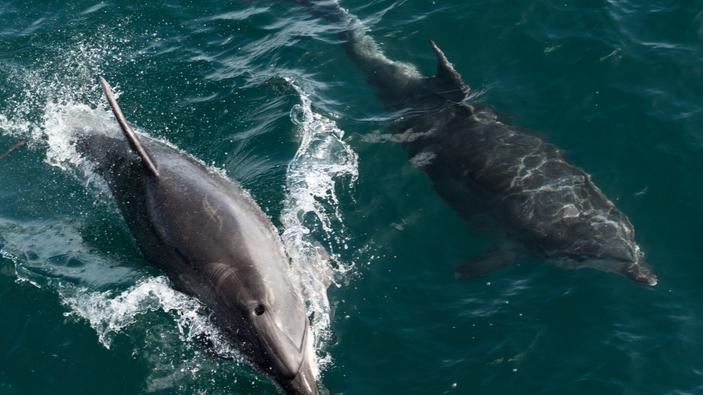 Les dauphins apprennent une technique de pêche de leurs congénères