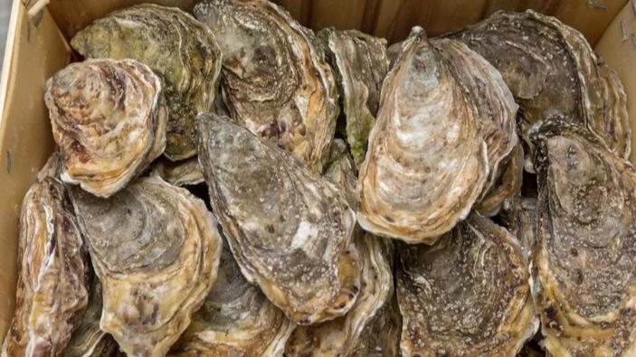 Le conchiglie di ostriche antiche offrono una guida per il futuro