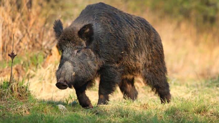 Deutscher FKK-Anhänger jagt Wildschwein, das seinen Laptop gestohlen hat