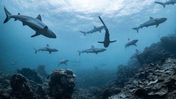 Sorprendentes descubrimientos sobre la vida social de los tiburones