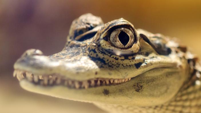 El redescubrimiento de un caimán amazónico
