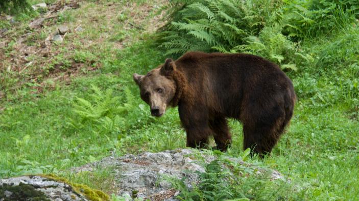 Polemiche su <i>Life Ursus</i>, il progetto di reintroduzione dell'orso in Trentino