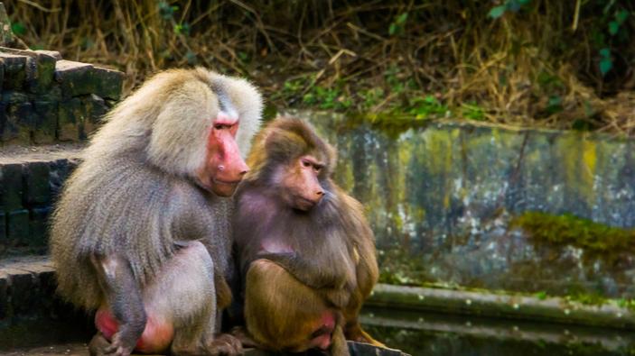 Pavianmännchen leben länger, wenn sie mehr Freundschaften mit Weibchen haben