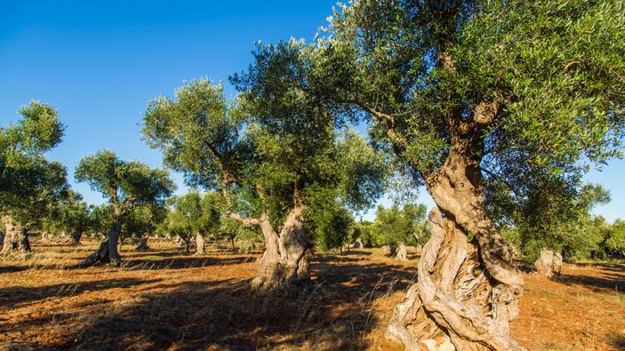 In Puglia si coltivano gli ulivi 'Favolosa', varietà resistente alla Xylella