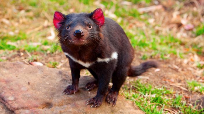 Los demonios de Tasmania regresan a Australia