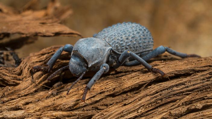 """Un escarabajo """"indestructible"""" podría ayudar a la industria aeronáutica"""