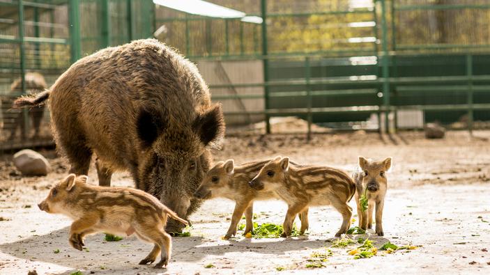 Polemiche per la famigliola di cinghiali uccisa in un giardino pubblico di Roma