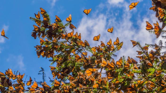 Michoacán abrirá las puertas de sus santuarios de mariposa monarca