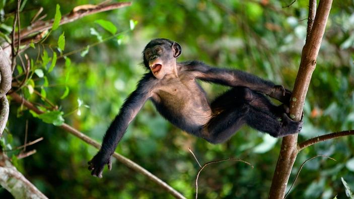 Viande de singe