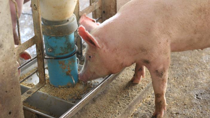 Klassische Musik soll Stress bei Schweinen abbauen können