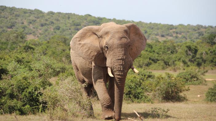 L'analyse de défenses d'éléphants vieilles de 500 ans conduit à des conclusions étonnantes