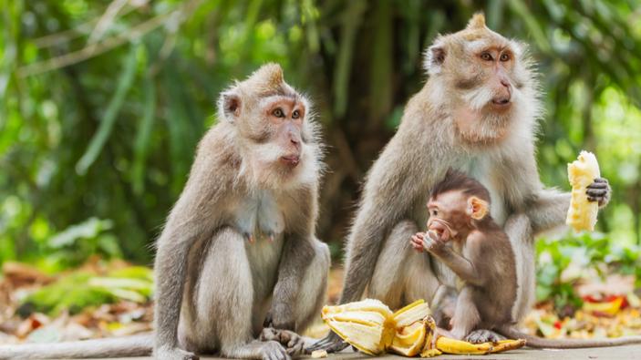 Los monos de Bali desarrollan un conocimiento básico de economía