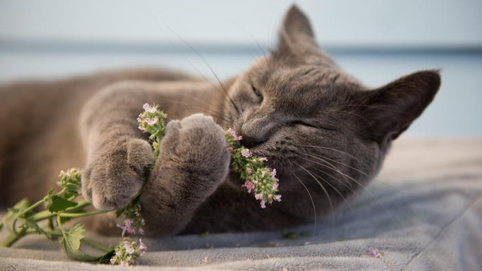 Perché i gatti si rotolano nell'erba gatta?