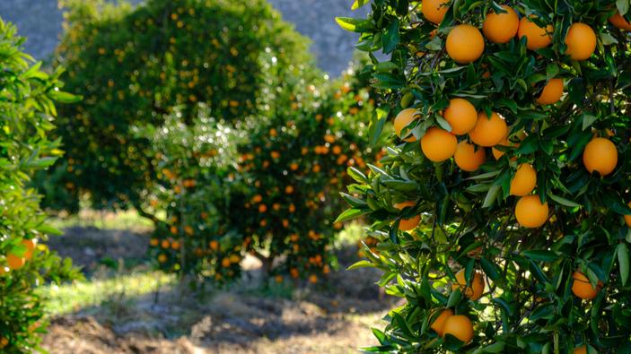 """La plaga del """"cotonet"""" llega a los naranjos de Murcia"""