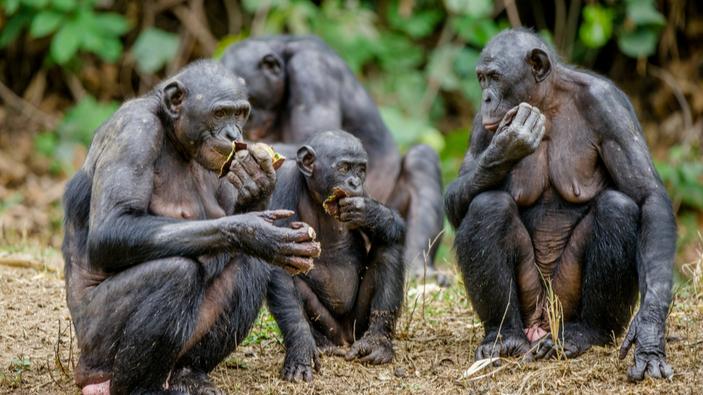 Osservato il primo caso di adozione di cuccioli appartenenti a un gruppo diverso da parte di esemplari femmina di bonobo