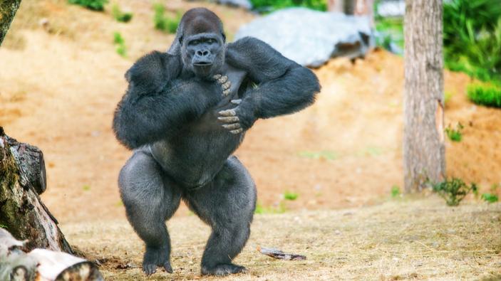 Scienziati scoprono perché i gorilla si battono il petto