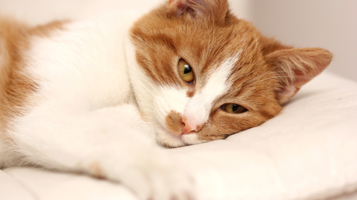 Neue Hinweise zur Übertragung des Coronavirus vom Menschen auf Katzen