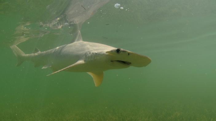 Gli squali usano i campi magnetici come una sorta di GPS integrato per la navigazione