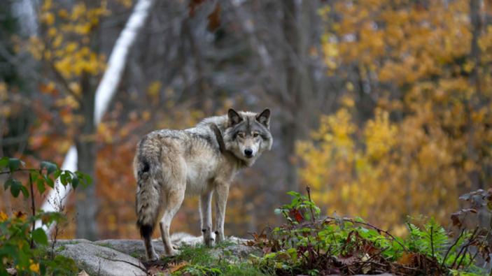 A Calderara di Reno si usano i cannoni per tenere lontano i lupi