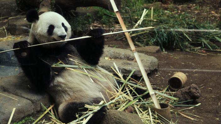 Un panda géant donne naissance à des jumeaux au zoo de Tokyo