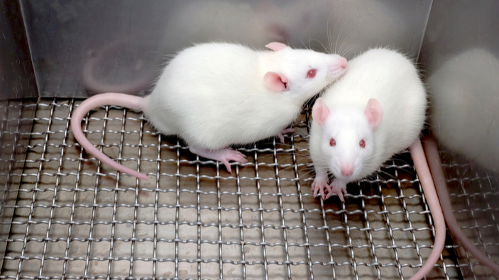 El microbioma intestinal afecta el comportamiento social en ratones
