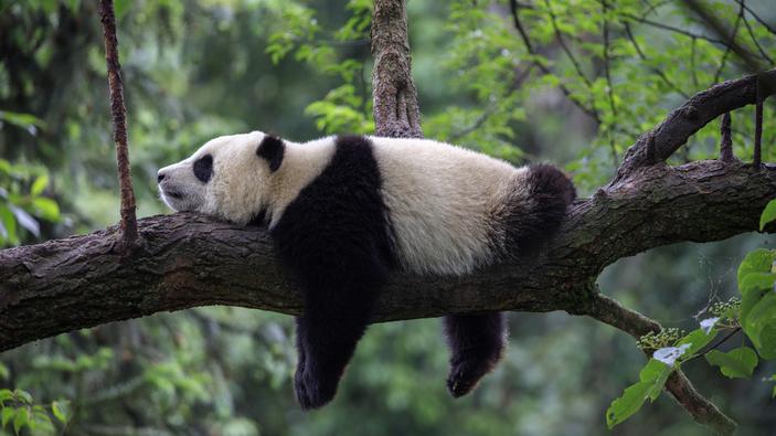 Un respiro para el panda