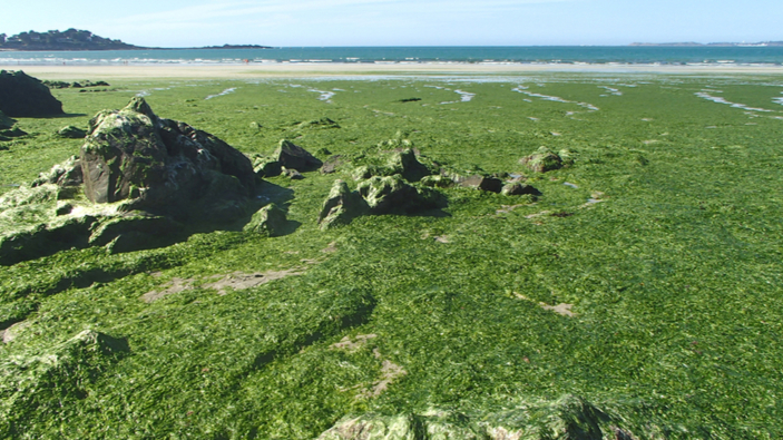 La Bretagne tente de lutter contre les algues vertes