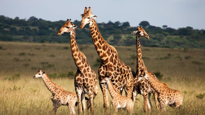 Se demuestra que las jirafas tienen una estructura social compleja como los elefantes
