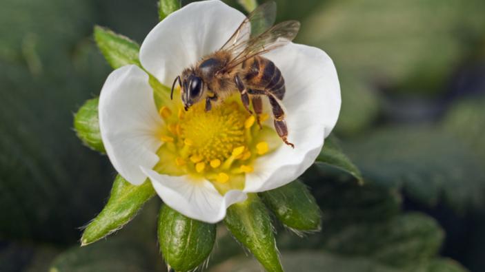 La caféine aide les abeilles à trouver les bonnes fleurs et à voler plus vite