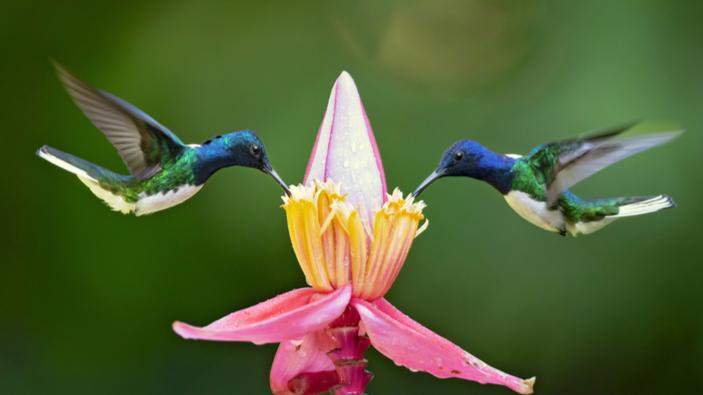 Kolibri-Weibchen tricksen Männchen aus, um nicht belästigt zu werden