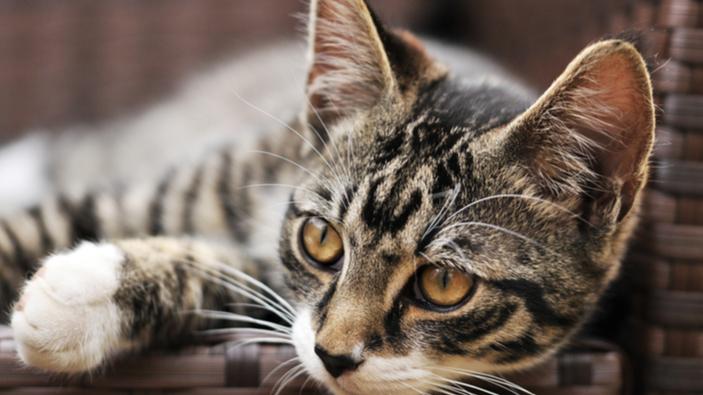 Da dove derivano le striature del pelo dei gatti?