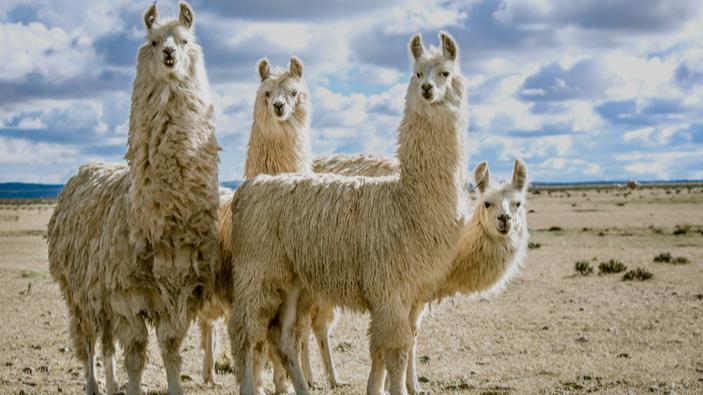 I nanocorpi prodotti dai lama offrono una potenziale terapia contro il Covid-19